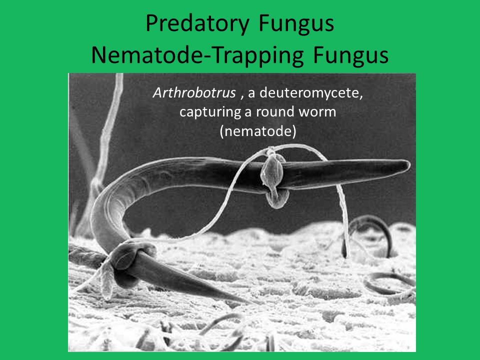 Predatory Fungus Nematode-Trapping Fungus Arthrobotrus, a deuteromycete, capturing a round worm (nematode)