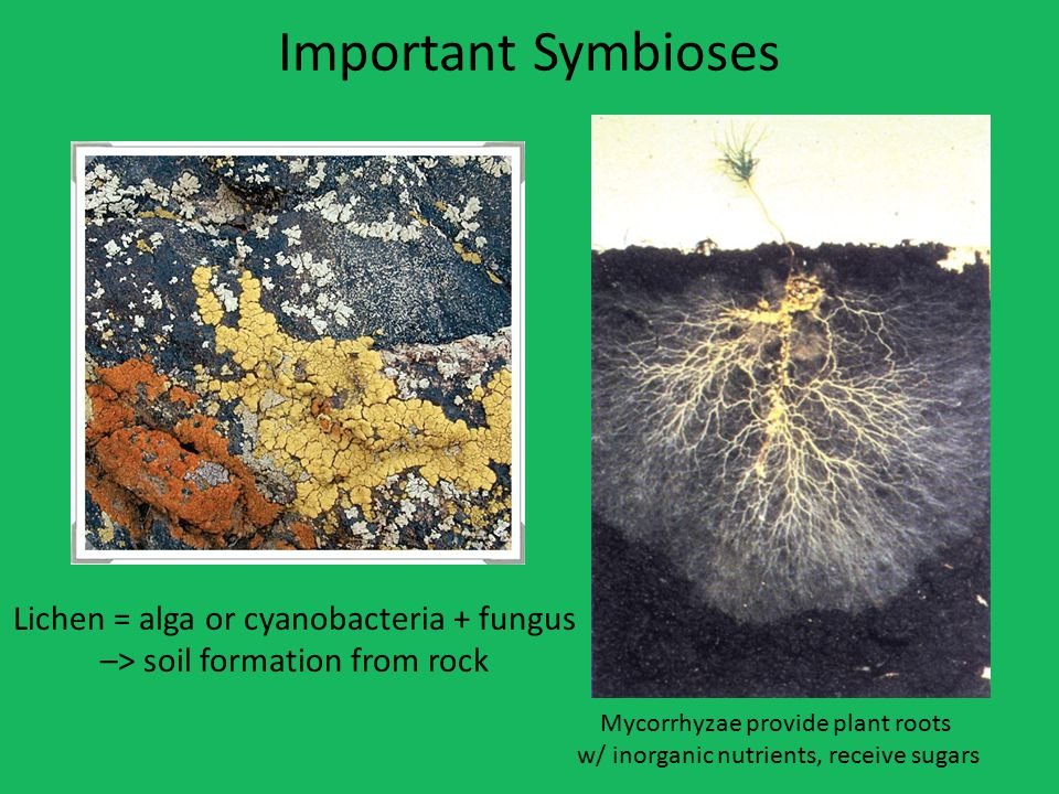 Important Symbioses Lichen = alga or cyanobacteria + fungus –> soil formation from rock Mycorrhyzae provide plant roots w/ inorganic nutrients, receive sugars
