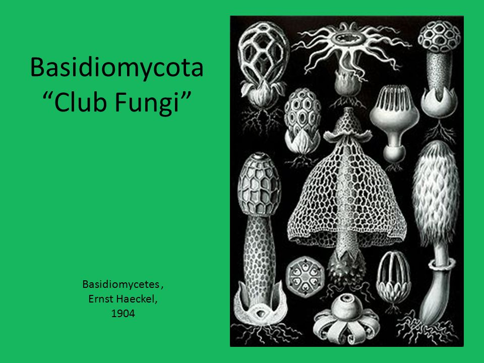 Basidiomycota Club Fungi Basidiomycetes, Ernst Haeckel, 1904