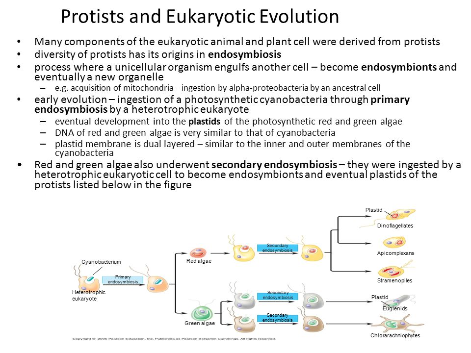 Protists and Eukaryotic Evolution Many components of the eukaryotic animal and plant cell were derived from protists diversity of protists has its ori
