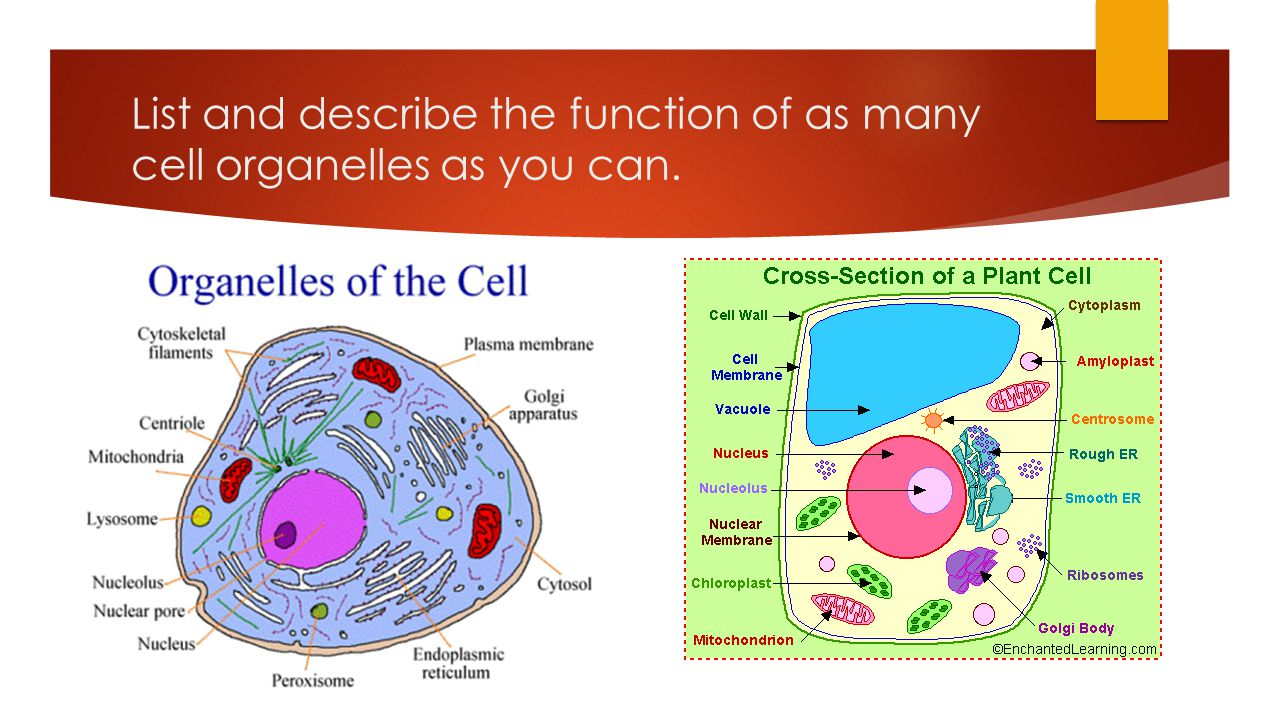 List and describe the function of as many cell organelles as you can.