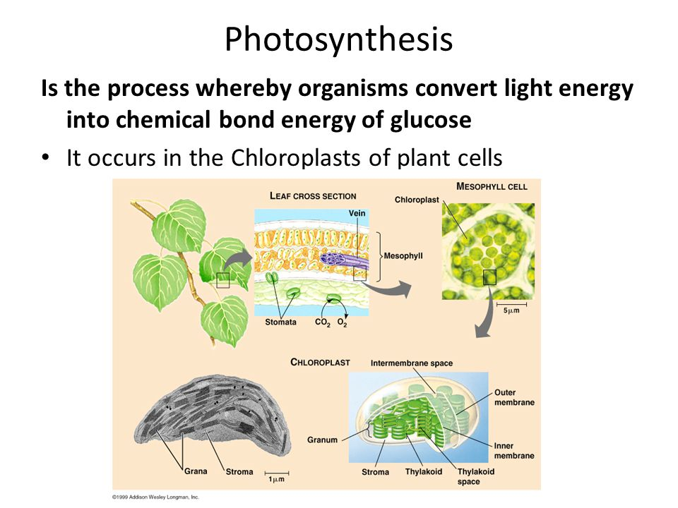 Photosynthesis Is the process whereby organisms convert light energy into chemical bond energy of glucose It occurs in the Chloroplasts of plant cells