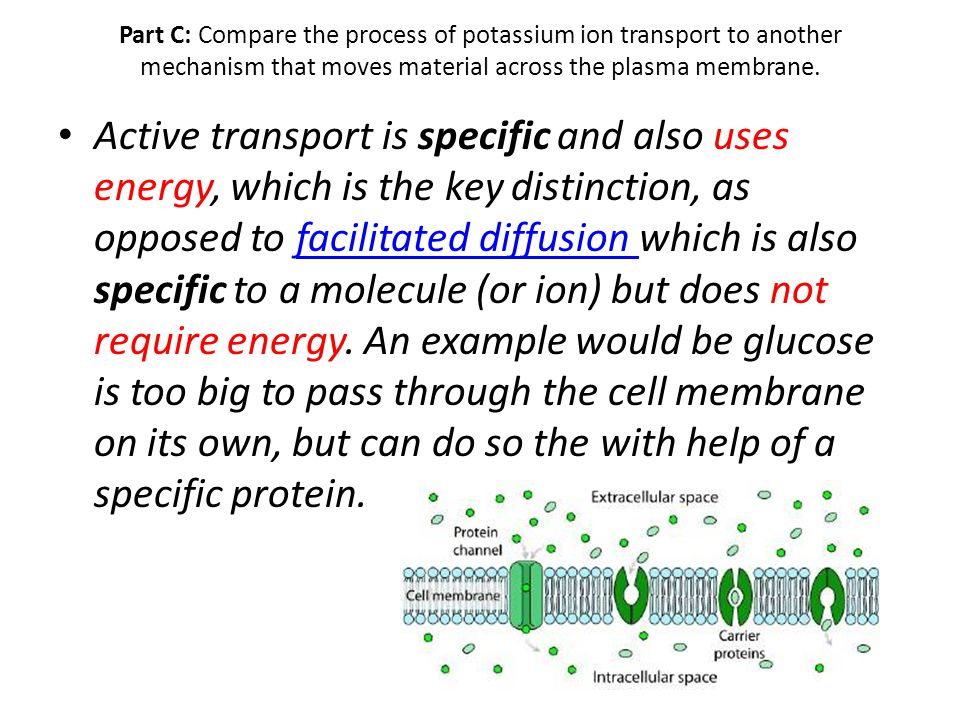 Part C: Compare the process of potassium ion transport to another mechanism that moves material across the plasma membrane. Active transport is specif
