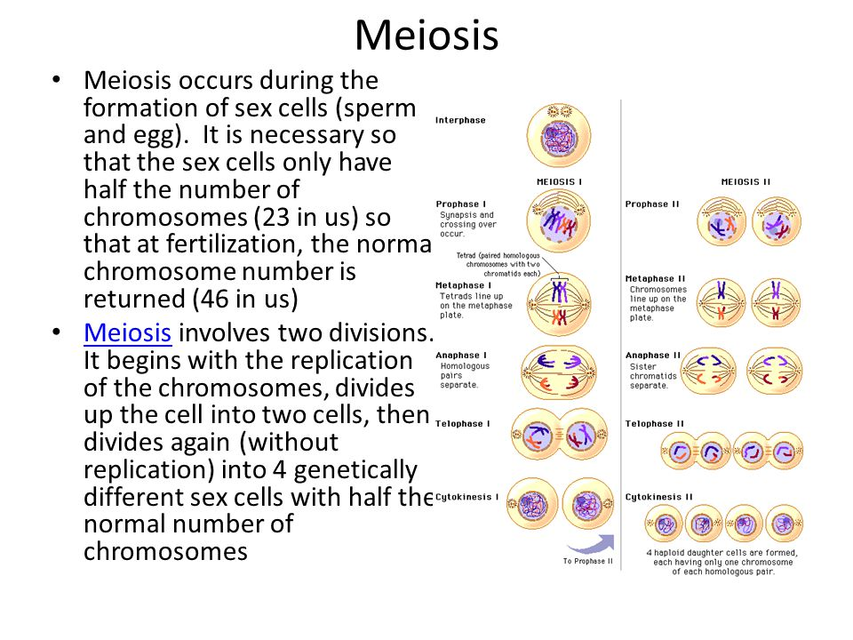 Meiosis Meiosis occurs during the formation of sex cells (sperm and egg). It is necessary so that the sex cells only have half the number of chromosom