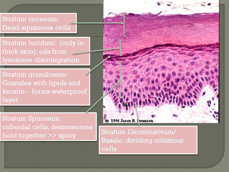 Stratum corneum: Dead squamous cells Stratum corneum: Dead squamous cells Stratum Germinativum/ Basale: dividing columnar cells Stratum Spinosum: cubo