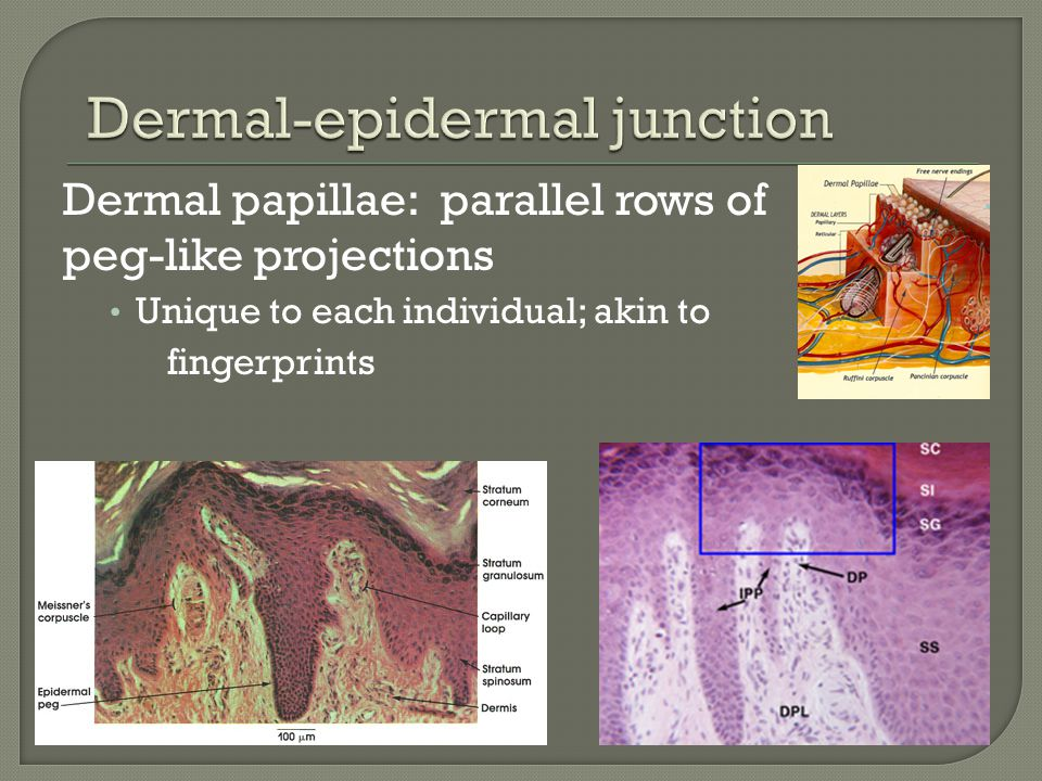 Dermal papillae: parallel rows of peg-like projections Unique to each individual; akin to fingerprints