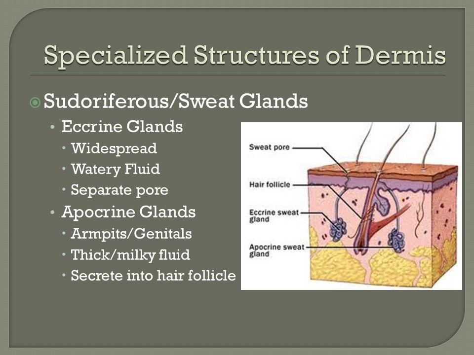  Sudoriferous/Sweat Glands Eccrine Glands  Widespread  Watery Fluid  Separate pore Apocrine Glands  Armpits/Genitals  Thick/milky fluid  Secret