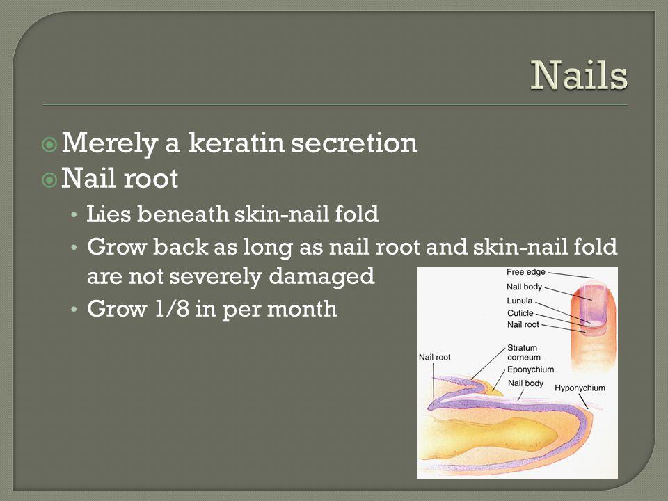  Merely a keratin secretion  Nail root Lies beneath skin-nail fold Grow back as long as nail root and skin-nail fold are not severely damaged Grow 1