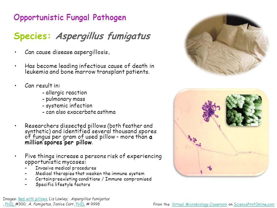 Opportunistic Fungal Pathogen Species: Aspergillus fumigatus Can cause disease aspergillosis.