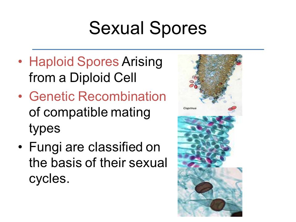 Sexual Spores Haploid Spores Arising from a Diploid Cell Genetic Recombination of compatible mating types Fungi are classified on the basis of their sexual cycles.