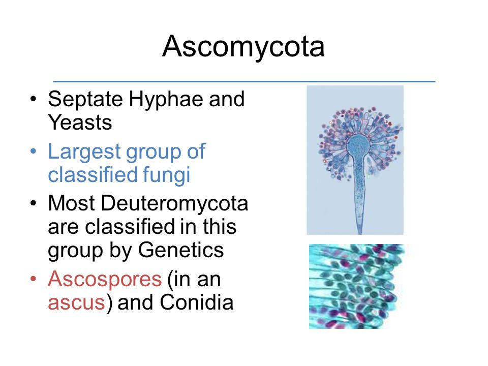 Ascomycota Septate Hyphae and Yeasts Largest group of classified fungi Most Deuteromycota are classified in this group by Genetics Ascospores (in an ascus) and Conidia