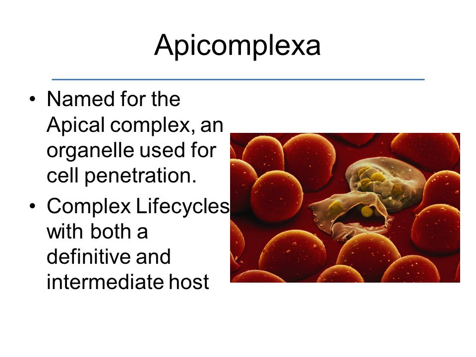 Apicomplexa Named for the Apical complex, an organelle used for cell penetration.