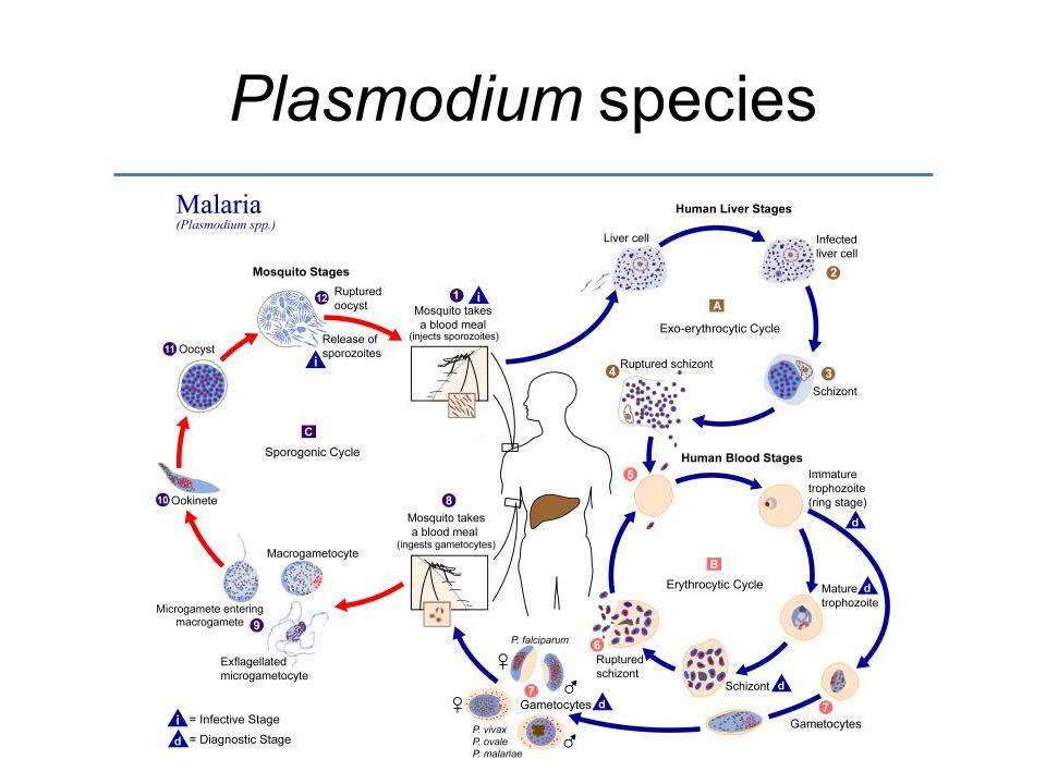 Plasmodium species