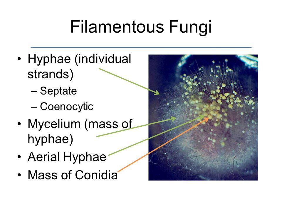 Filamentous Fungi Hyphae (individual strands) –Septate –Coenocytic Mycelium (mass of hyphae) Aerial Hyphae Mass of Conidia