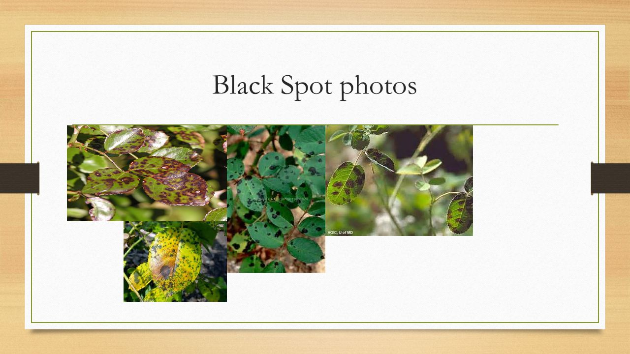 Black Spot photos