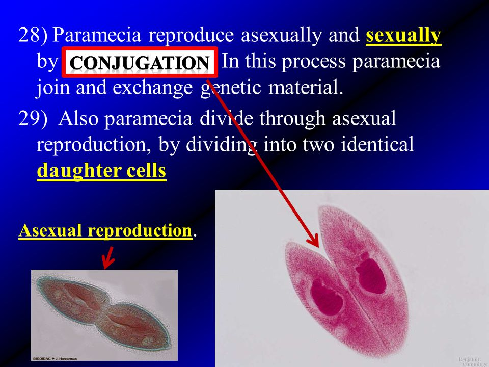 28) Paramecia reproduce asexually and sexually by _____________. In this process paramecia join and exchange genetic material. 29) Also paramecia divi