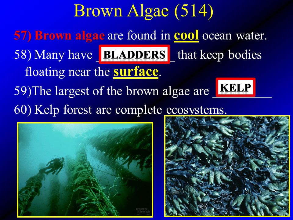 Brown Algae (514) 57) Brown algae 57) Brown algae are found in cool ocean water. 58) Many have ____________ that keep bodies floating near the surface