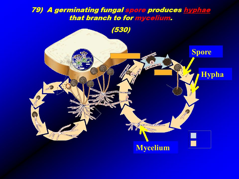 hyphae 79) A germinating fungal spore produces hyphae that branch to for mycelium. (530) Hypha Mycelium Spore