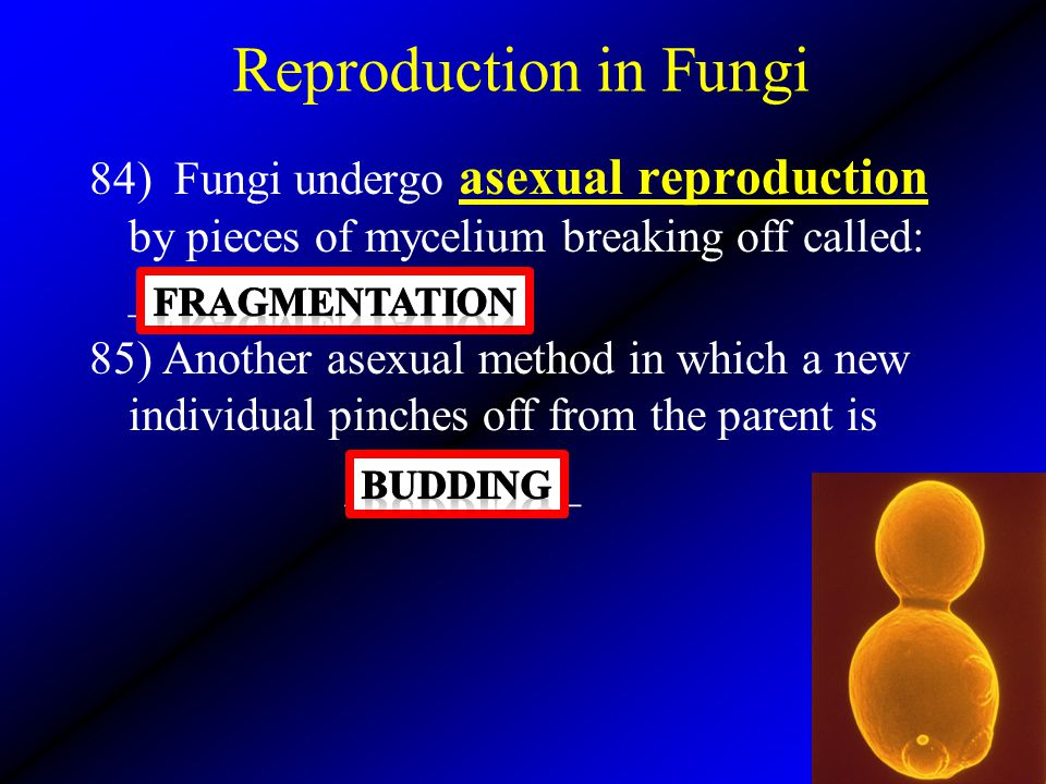 Reproduction in Fungi 84) Fungi undergo asexual reproduction by pieces of mycelium breaking off called: ______________ 85) Another asexual method in w