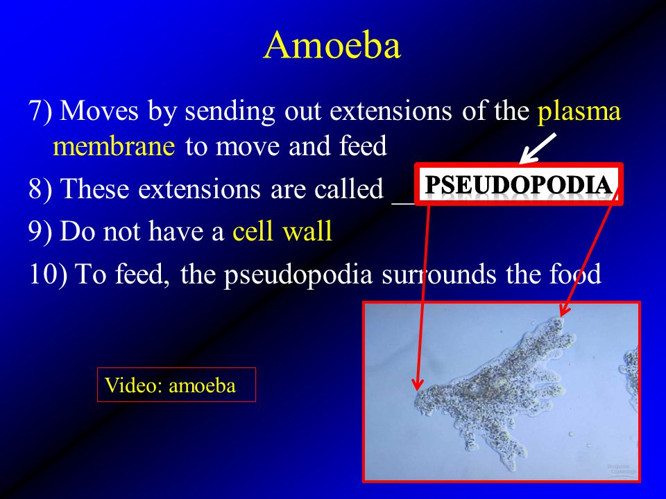 Amoeba 7) Moves by sending out extensions of the plasma membrane to move and feed 8) These extensions are called ___________. 9) Do not have a cell wa