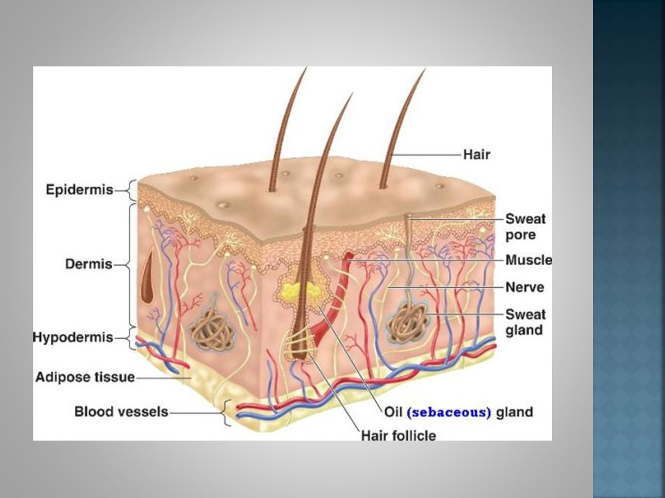 The skin is the largest organ in your body.