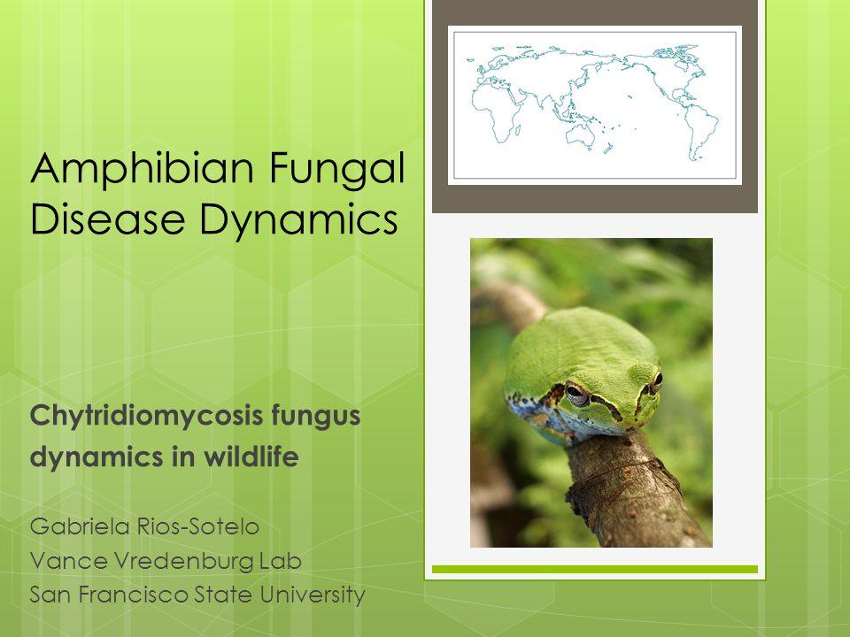 Amphibian Fungal Disease Dynamics Chytridiomycosis fungus dynamics in wildlife Gabriela Rios-Sotelo Vance Vredenburg Lab San Francisco State University