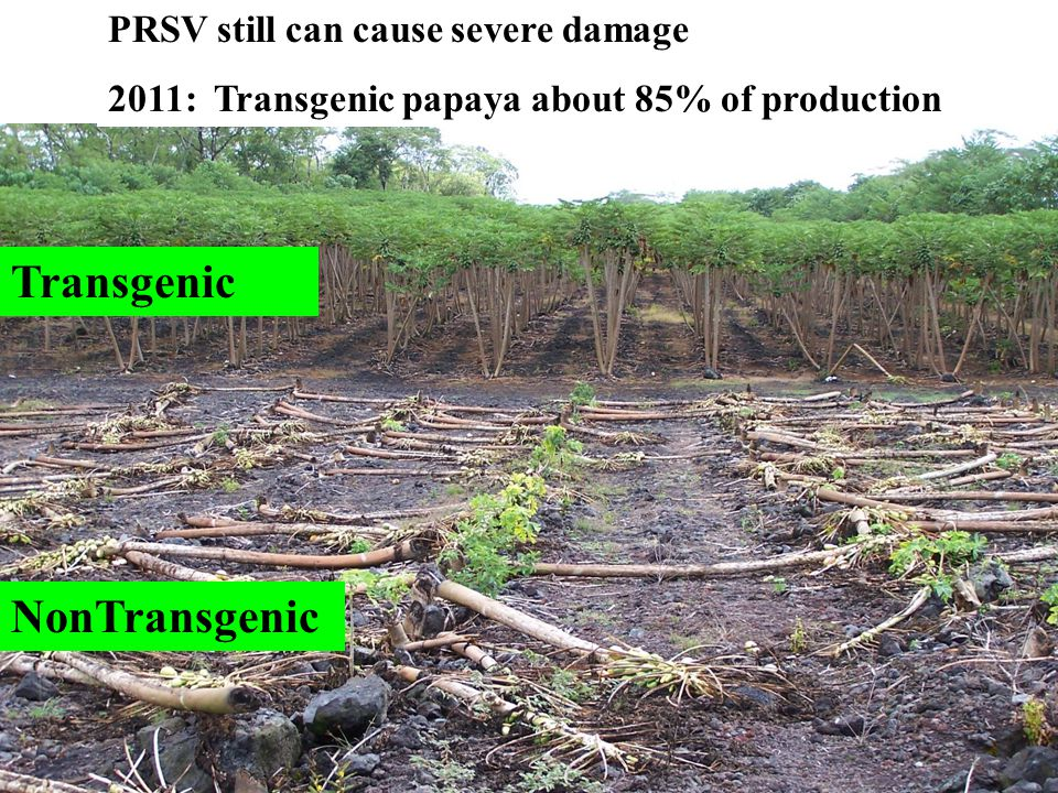 PRSV still can cause severe damage 2011: Transgenic papaya about 85% of production NonTransgenic Transgenic