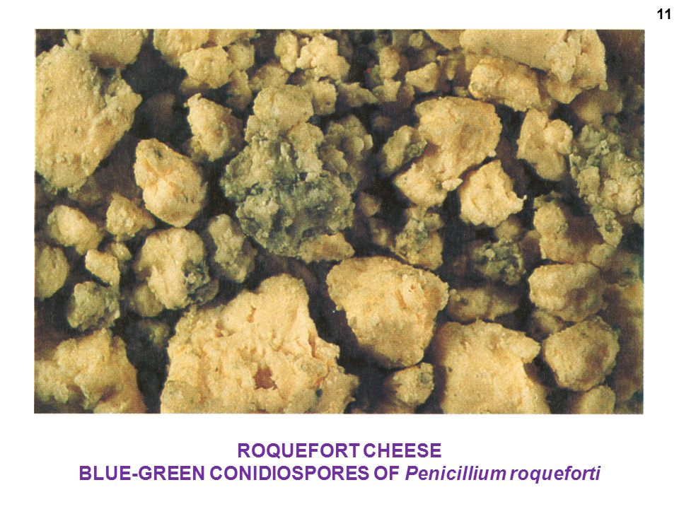ROQUEFORT CHEESE BLUE-GREEN CONIDIOSPORES OF Penicillium roqueforti 11