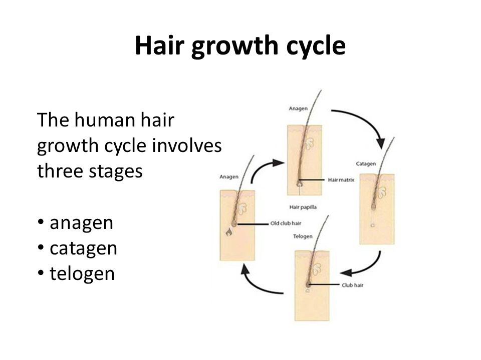 Hair growth cycle The human hair growth cycle involves three stages anagen catagen telogen