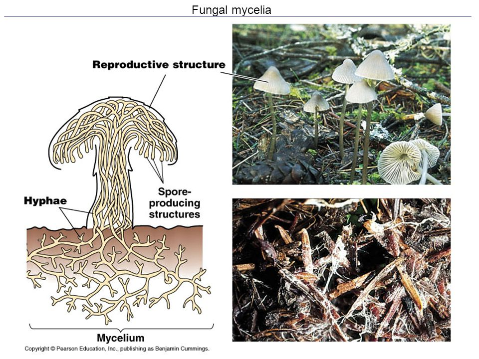 Fungal mycelia