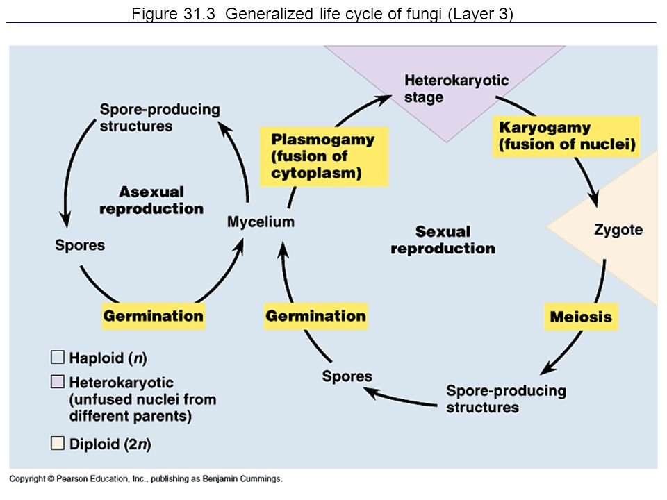 Figure 31.3 Generalized life cycle of fungi (Layer 3)