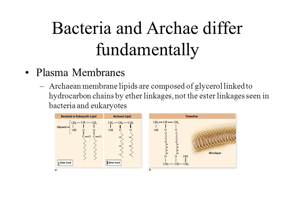 Bacteria and Archae differ fundamentally Plasma Membranes –Archaean membrane lipids are composed of glycerol linked to hydrocarbon chains by ether linkages, not the ester linkages seen in bacteria and eukaryotes