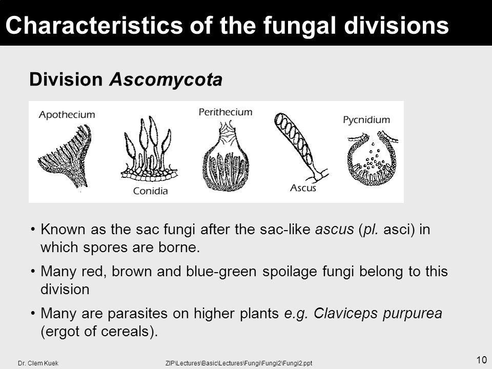 Dr. Clem Kuek ZIP\Lectures\Basic\Lectures\Fungi\Fungi2\Fungi2.ppt 10 Division Ascomycota Characteristics of the fungal divisions Known as the sac fung