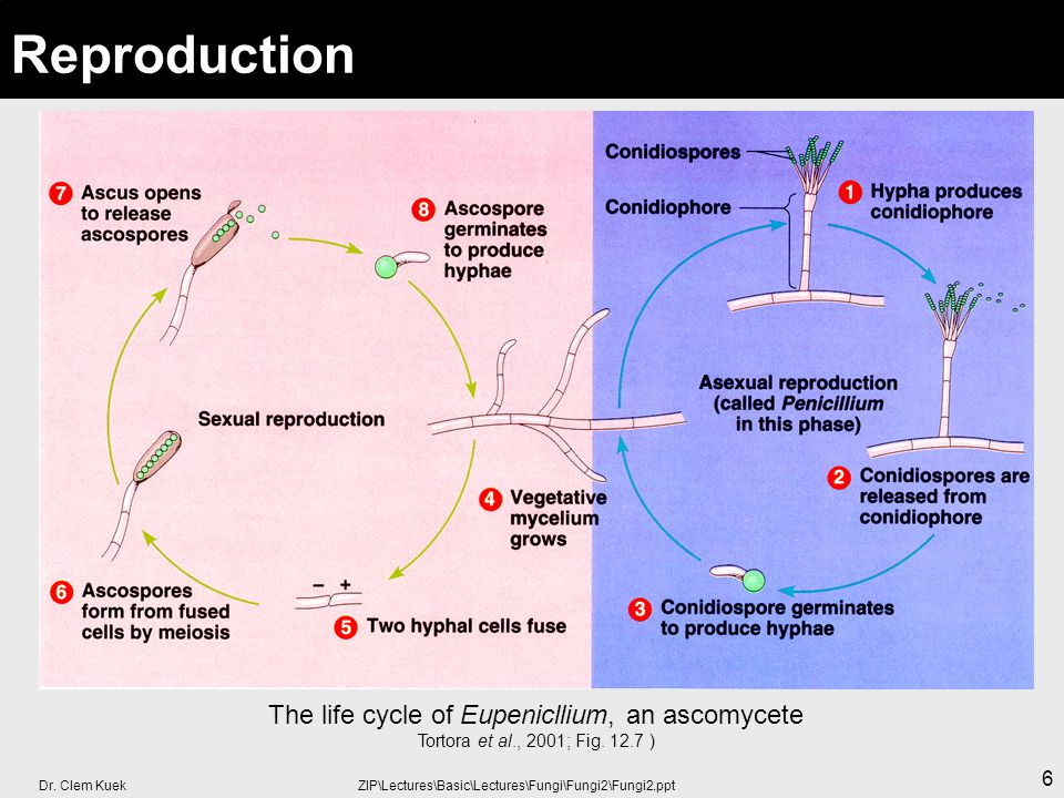 Dr. Clem Kuek ZIP\Lectures\Basic\Lectures\Fungi\Fungi2\Fungi2.ppt 6 Reproduction The life cycle of Eupenicllium, an ascomycete Tortora et al., 2001; F