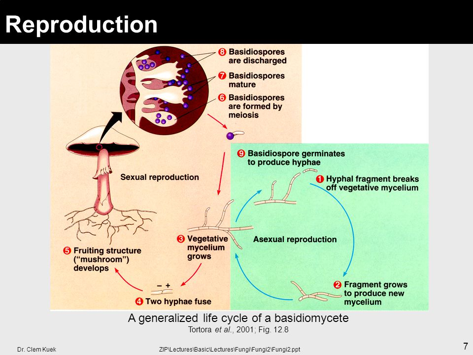 Dr. Clem Kuek ZIP\Lectures\Basic\Lectures\Fungi\Fungi2\Fungi2.ppt 7 Reproduction A generalized life cycle of a basidiomycete Tortora et al., 2001; Fig