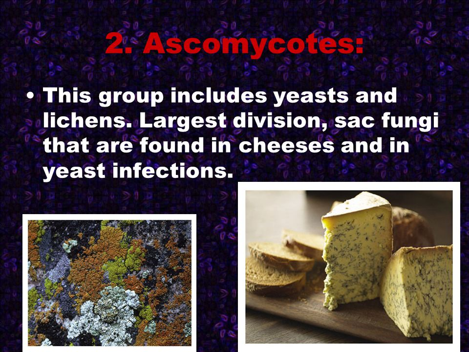 2. Ascomycotes: This group includes yeasts and lichens. Largest division, sac fungi that are found in cheeses and in yeast infections.