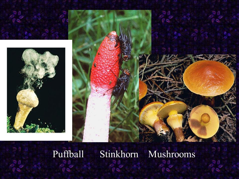 Puffball Stinkhorn Mushrooms