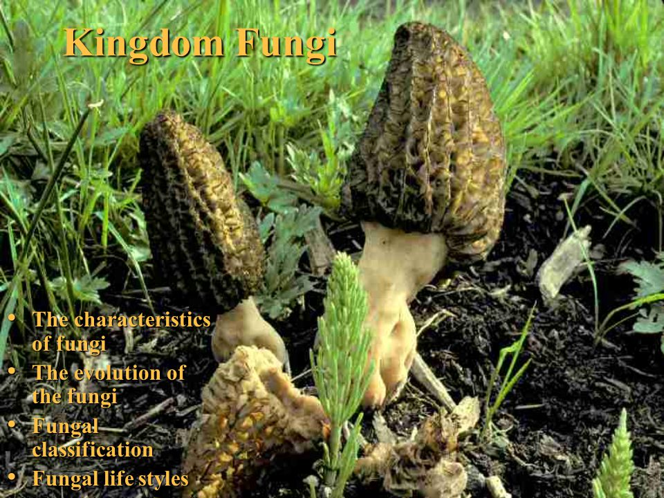 Kingdom Fungi The characteristics of fungi The characteristics of fungi The evolution of the fungi The evolution of the fungi Fungal classification Fu