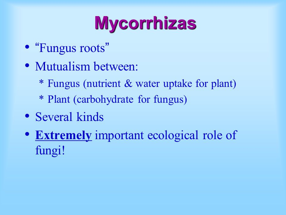 "Mycorrhizas ""Fungus roots"" Mutualism between: *Fungus (nutrient & water uptake for plant) *Plant (carbohydrate for fungus) Several kinds Extremely imp"