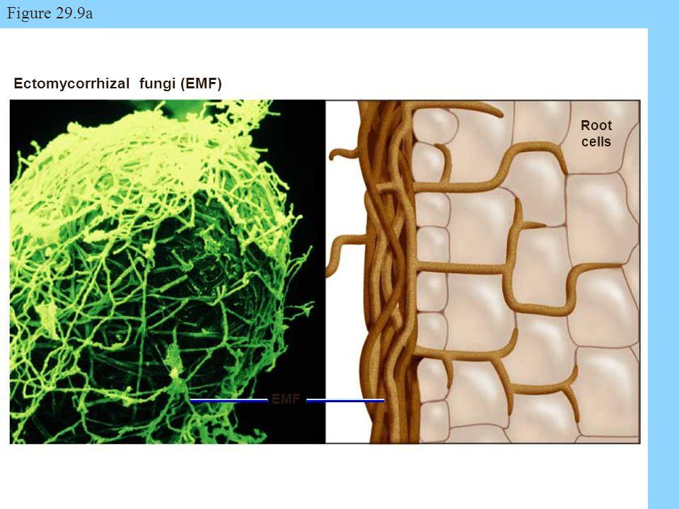 Ectomycorrhizal fungi (EMF) Root cells EMF Figure 29.9a