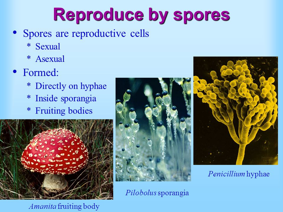 Reproduce by spores Spores are reproductive cells *Sexual *Asexual Formed: *Directly on hyphae *Inside sporangia *Fruiting bodies Amanita fruiting bod