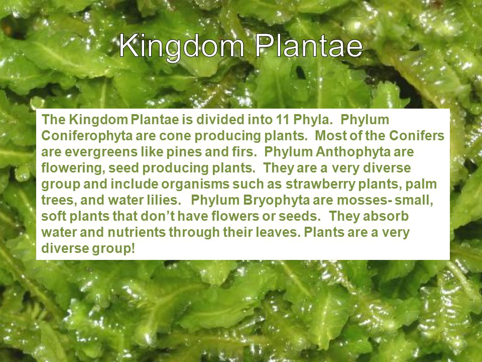 The Kingdom Plantae is divided into 11 Phyla. Phylum Coniferophyta are cone producing plants. Most of the Conifers are evergreens like pines and firs.
