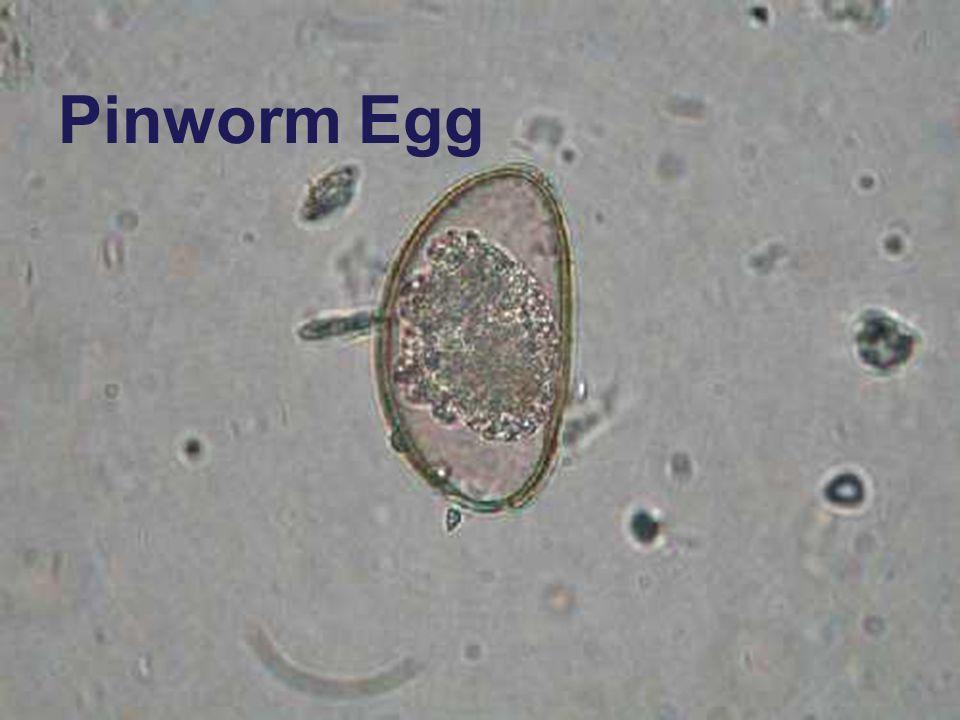 Pinworm Egg