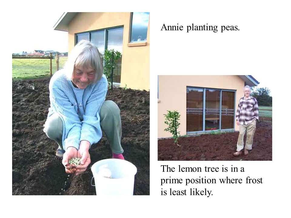 Annie planting peas. The lemon tree is in a prime position where frost is least likely.