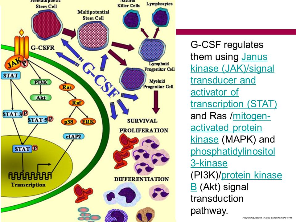 G-CSF regulates them using Janus kinase (JAK)/signal transducer and activator of transcription (STAT) and Ras /mitogen- activated protein kinase (MAPK) and phosphatidylinositol 3-kinase (PI3K)/protein kinase B (Akt) signal transduction pathway.Janus kinase (JAK)/signal transducer and activator of transcription (STAT)mitogen- activated protein kinase phosphatidylinositol 3-kinaseprotein kinase B