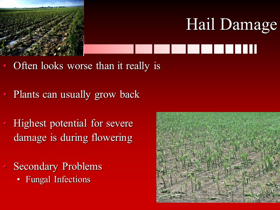 Hail Damage Often looks worse than it really isOften looks worse than it really is Plants can usually grow backPlants can usually grow back Highest potential for severeHighest potential for severe damage is during flowering damage is during flowering Secondary ProblemsSecondary Problems Fungal InfectionsFungal Infections