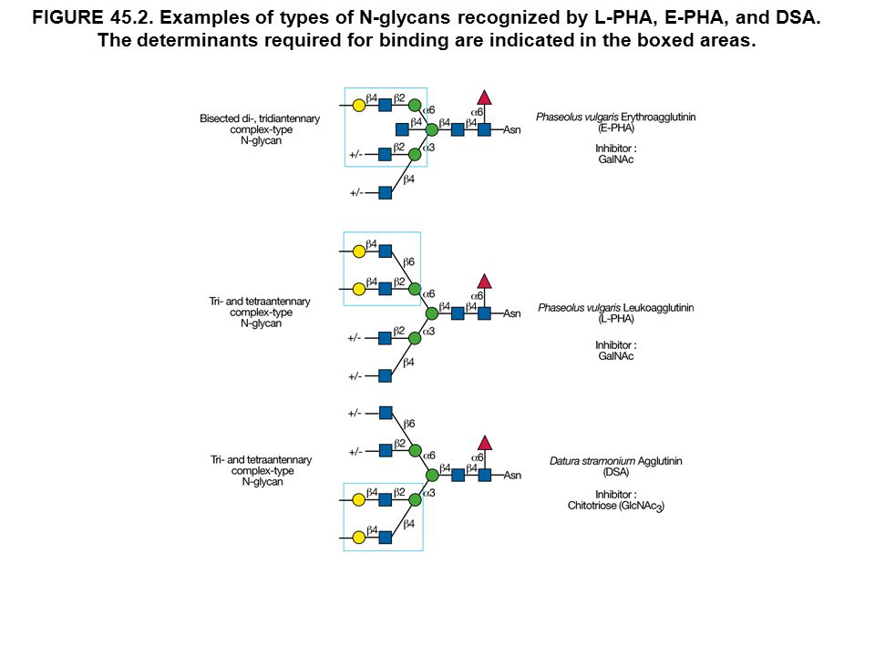 FIGURE 45.2. Examples of types of N-glycans recognized by L-PHA, E-PHA, and DSA.