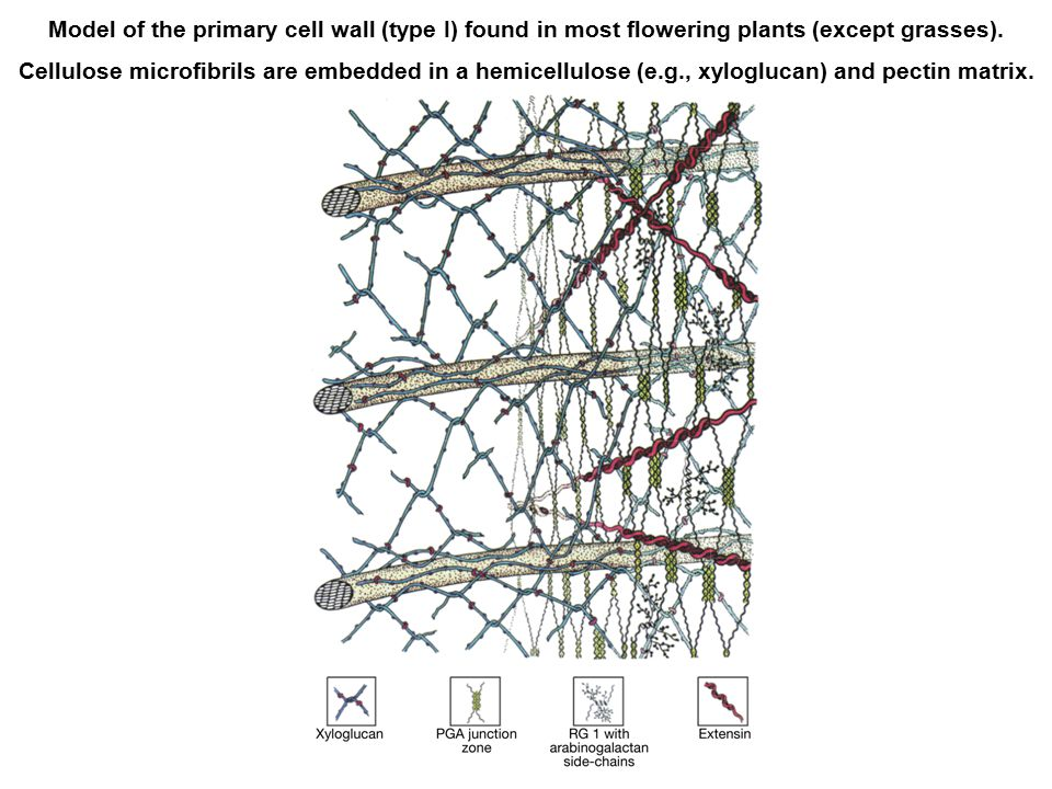 Model of the primary cell wall (type I) found in most flowering plants (except grasses).