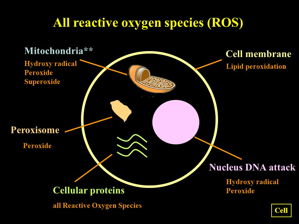 Hydroxy radical Peroxide all Reactive Oxygen Species Hydroxy radical Peroxide Superoxide Lipid peroxidation Peroxide Nucleus DNA attack Cell membrane Mitochondria** Peroxisome Cellular proteins All reactive oxygen species (ROS) Cell
