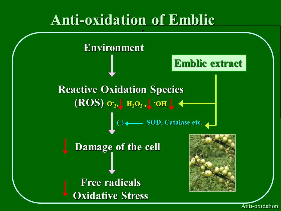 Anti-oxidation of Emblic Environment Reactive Oxidation Species (ROS) O 2, H 2 O 2, OH Damage of the cell Free radicals Oxidative Stress Emblic extract Anti-oxidation (-) SOD, Catalase etc.